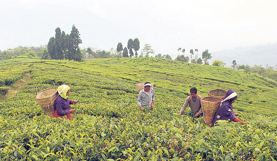 Ilam farmers not getting right price for green leaves: Study