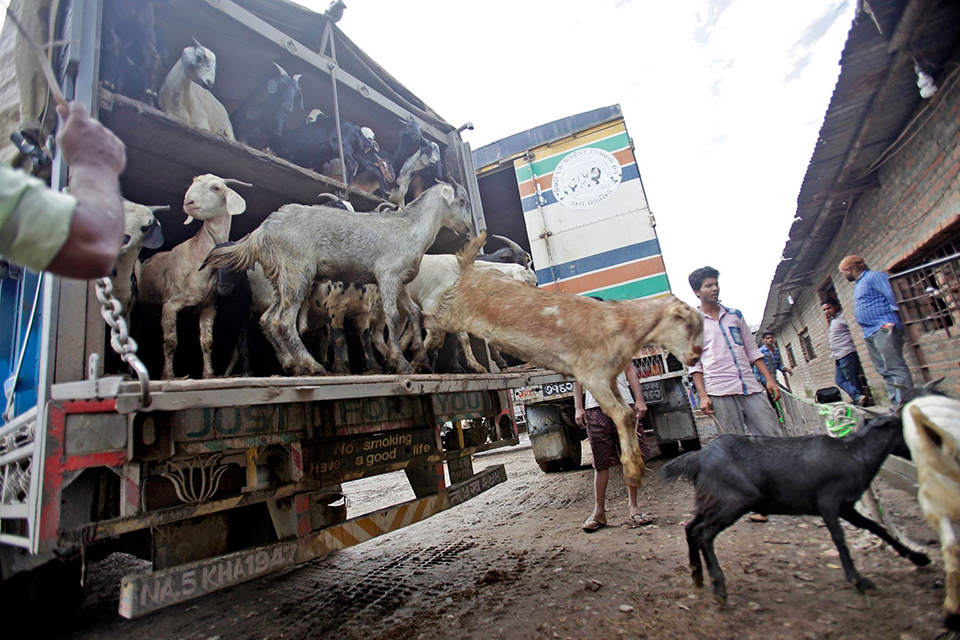 Sales of goats for Dashain begins