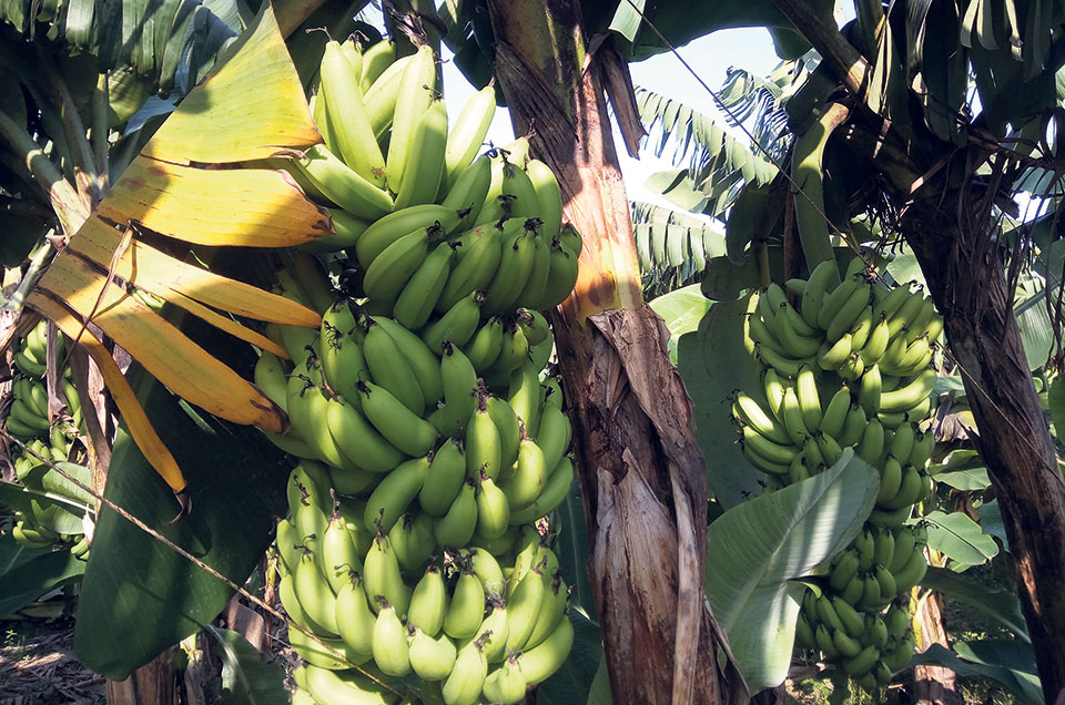 Farmers demand restriction on import of Indian bananas