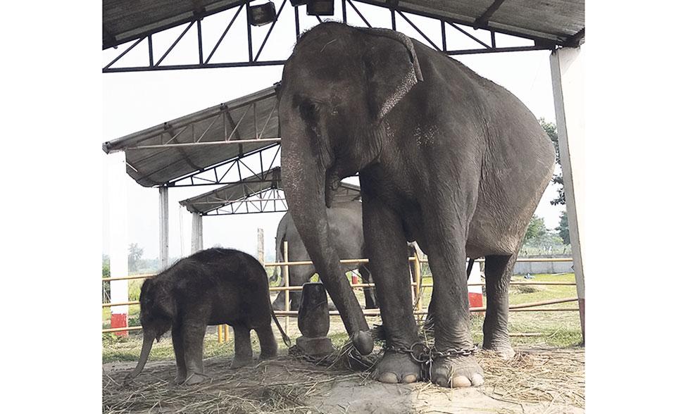Nurturing an elephant calf at Koshi Tappu