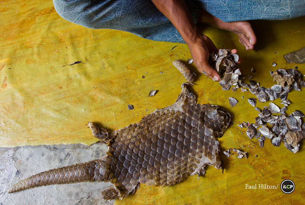 CIB nabs two persons with endangered pangolin scales