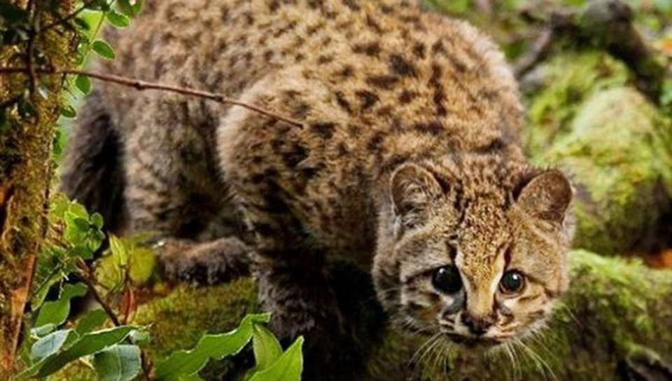 Activists launch project to save America's smallest wild cat