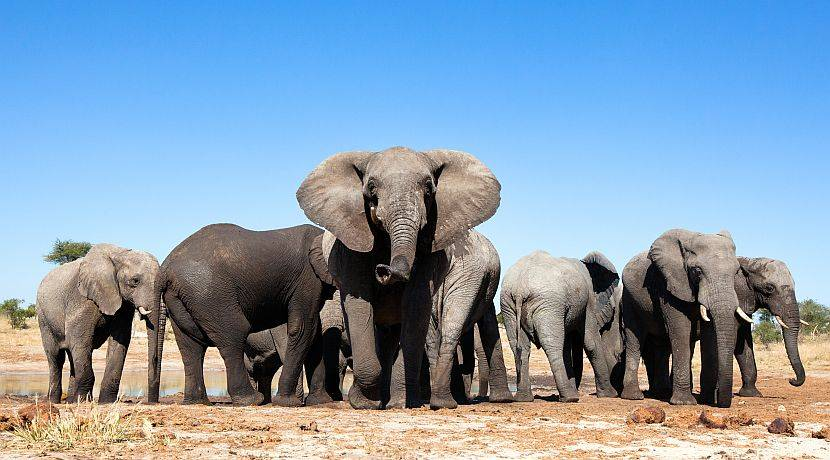 90 elephants slaughtered, stripped of tusks in Botswana's worst massacre of elephants in its history