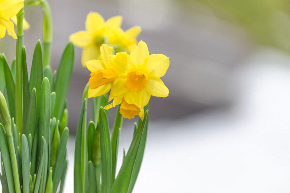 Daffodils May Soon Help Cure Cancer