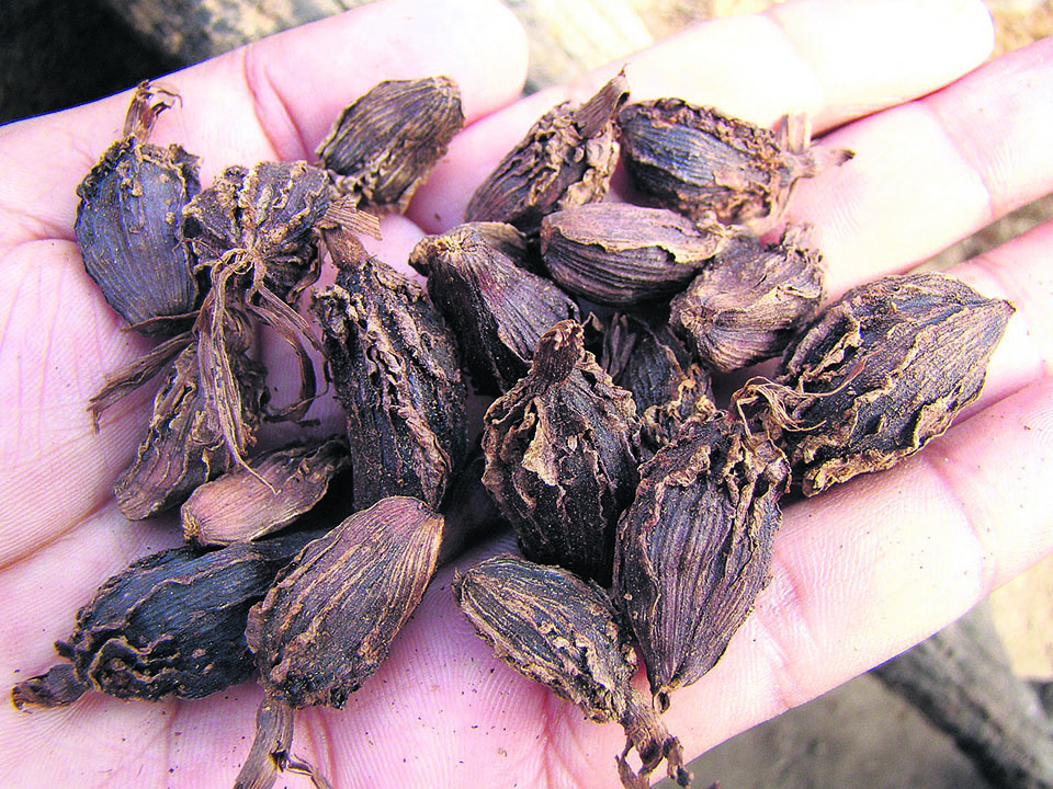 Black cardamom farmers get frustrated as price recovery fails to last