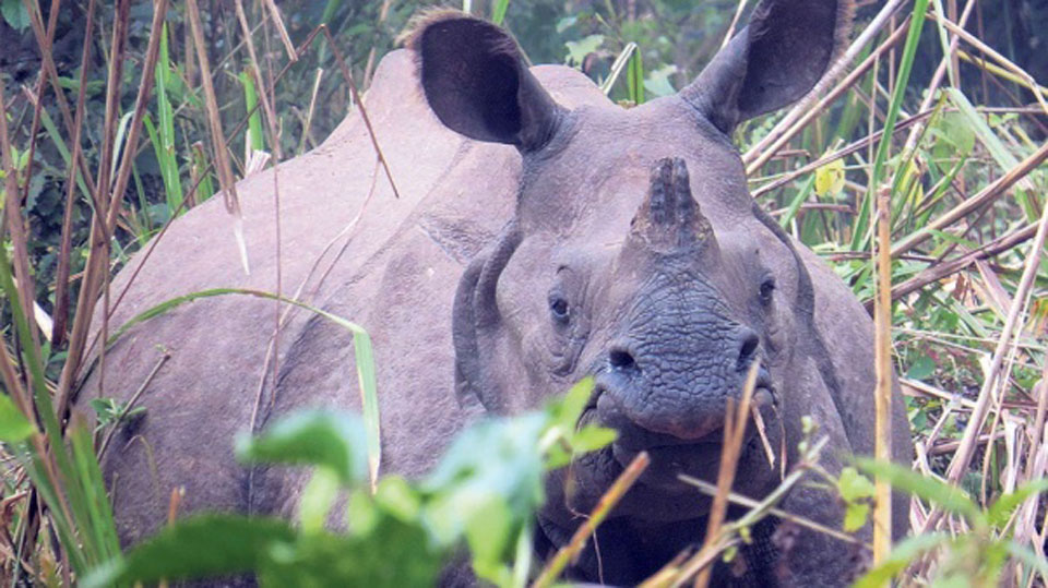 Teenager, guide injured by rhino's gore at Chitwan National Park