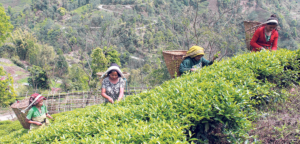 Tea/coffee production in Nepal: employment for farmers