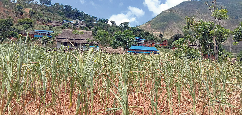 Drought damages maize planted in 5,700 hectares of land in Okhaldhunga