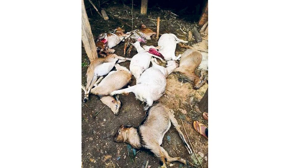 Tiger kills 21 goats, injures a local