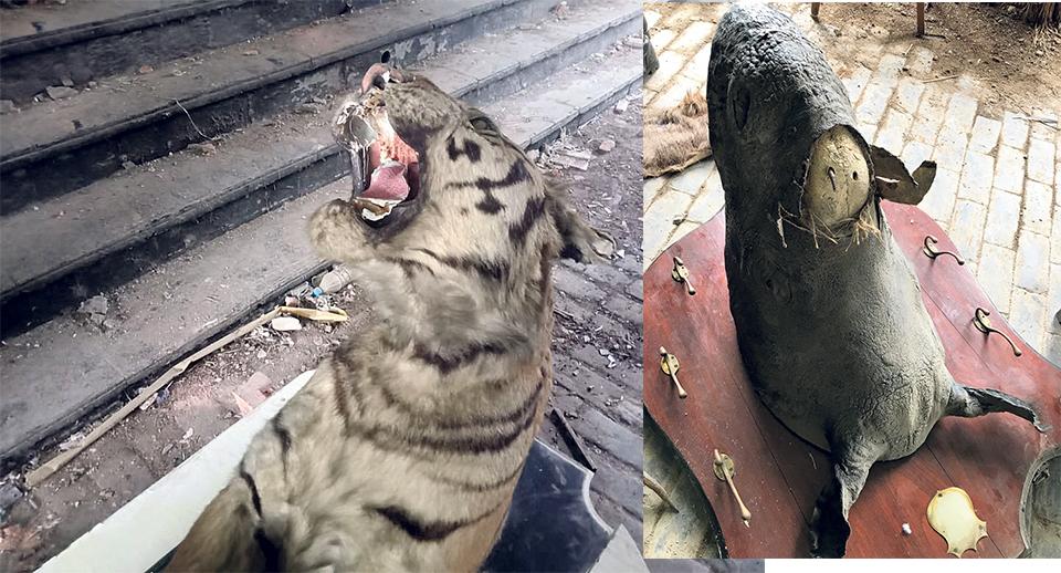 Govt unaware wildlife trophies stolen from Singha Durbar