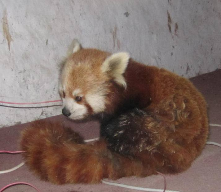 Red panda conservation becoming challenging