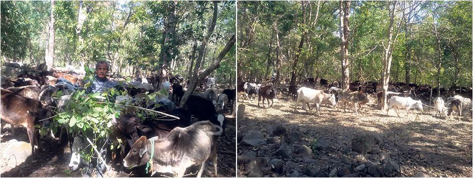 Ghodaghodi Municipality struggling to manage stray cattle