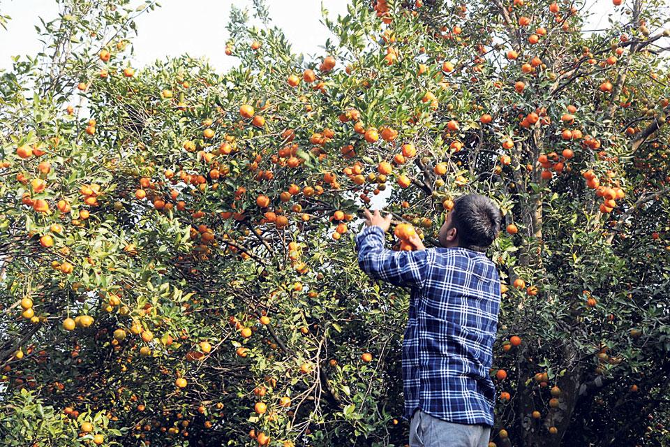 Orange farmers worried over dwindling production, market