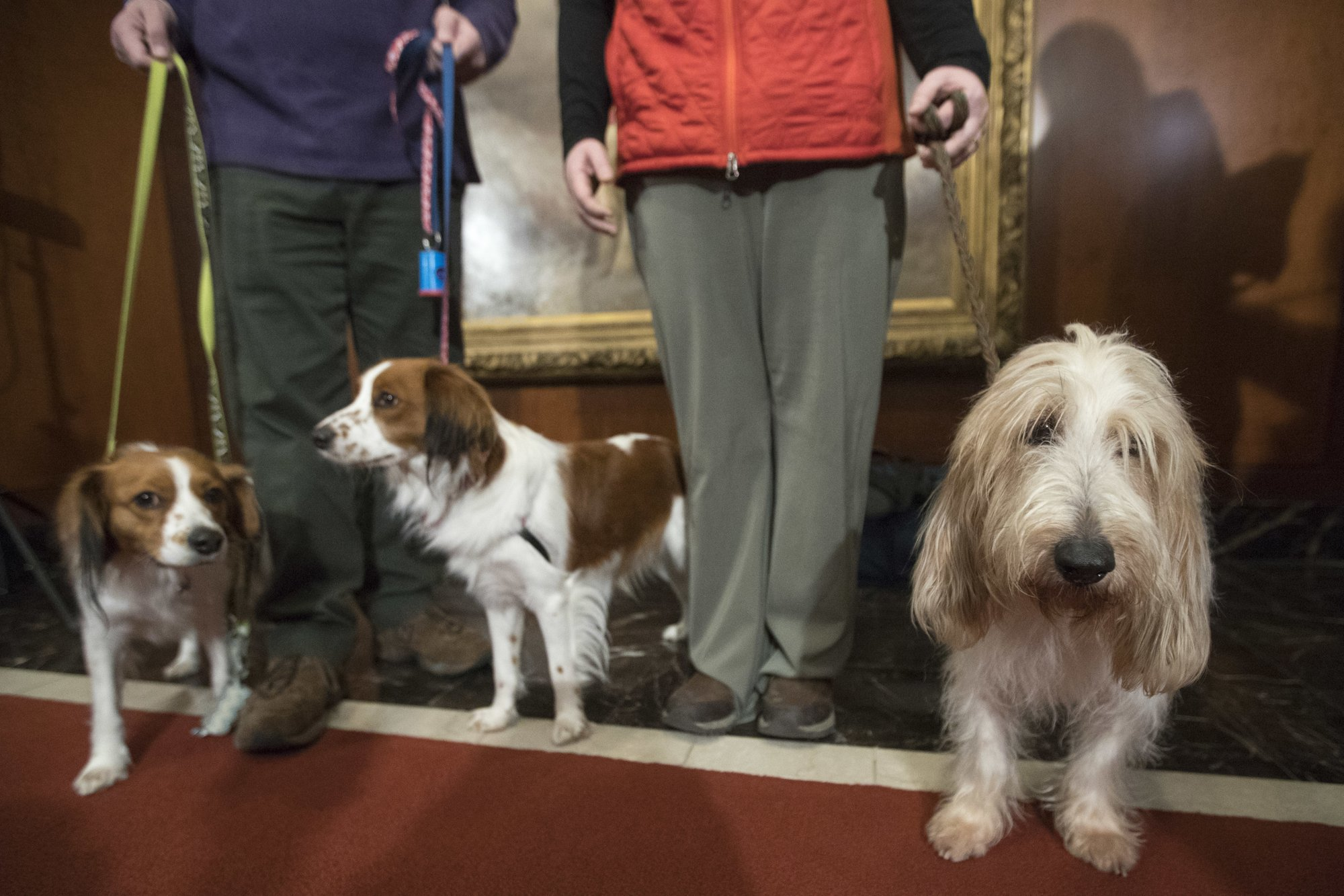Kooiker-huh? An intro to Westminster dog show's new breeds