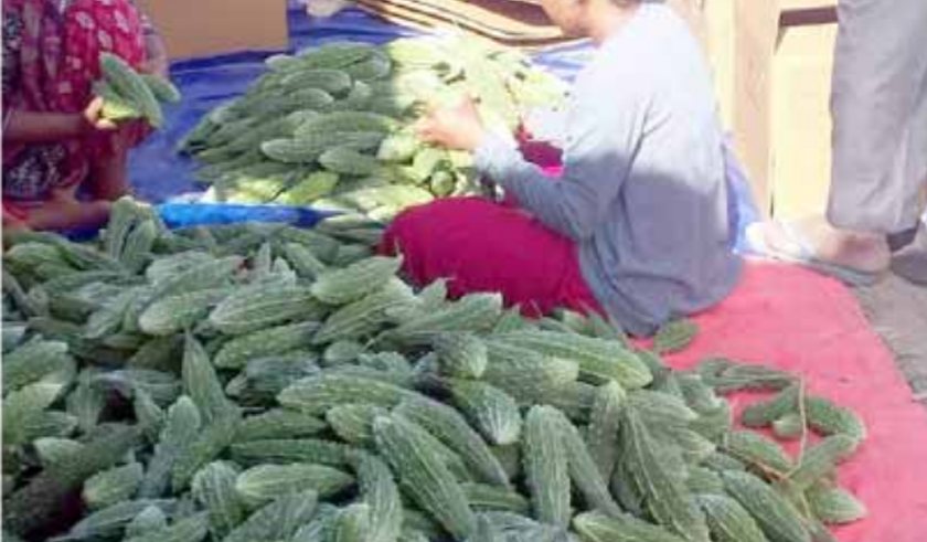 Export of bitter gourds to Qatar begins, supply inadequate to meet demand