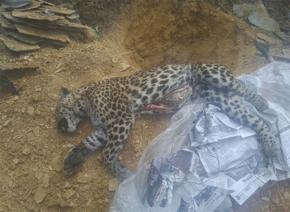 Human-leopard conflict