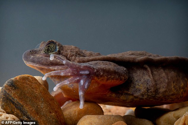 The 'World's Loneliest Frog' Romeo finally finds his Juliet after years spent alone