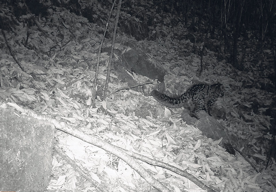 'Marbled cat' photographed for the first time in Nepal