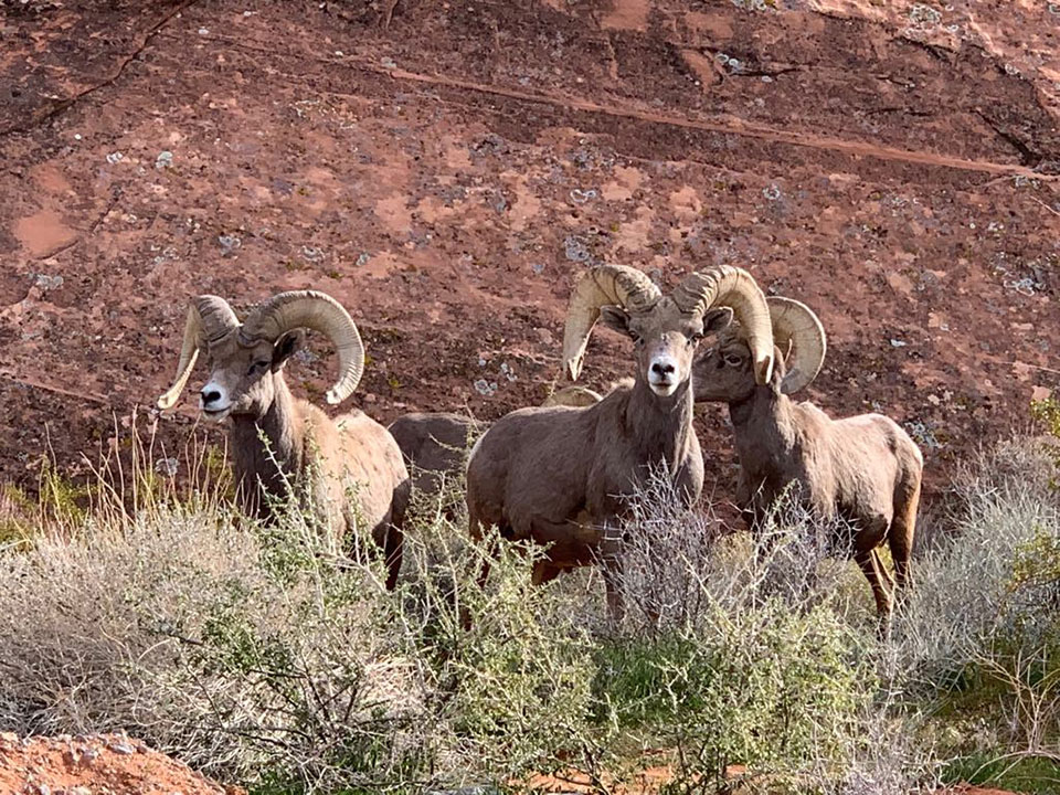 IN PHOTOS: Amazing Bighorn Sheep in Nevada