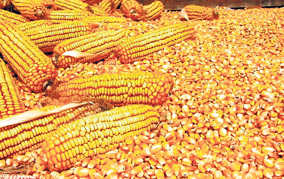 Maize worth 71 billion imported in 10 years - myRepublica - The New