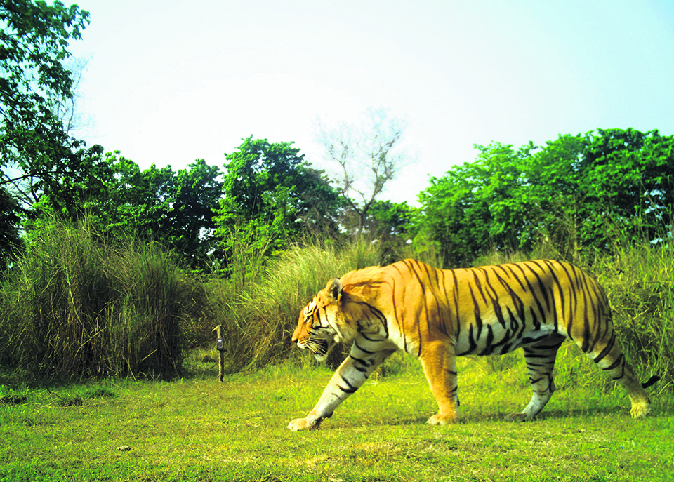 Nepal poised to become first country to double tiger