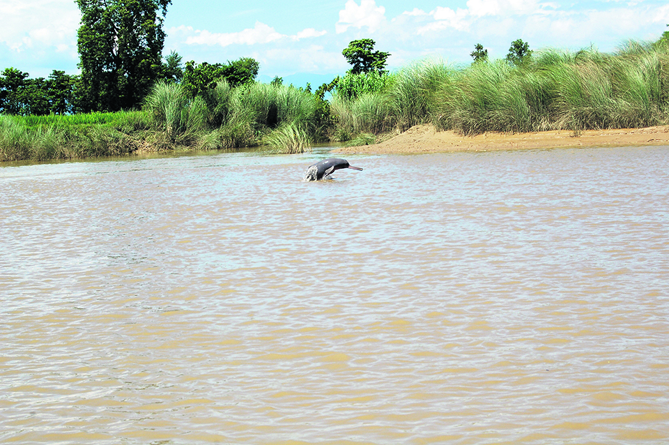 Dolphins spotted in Mohana and Pathraiya rivers