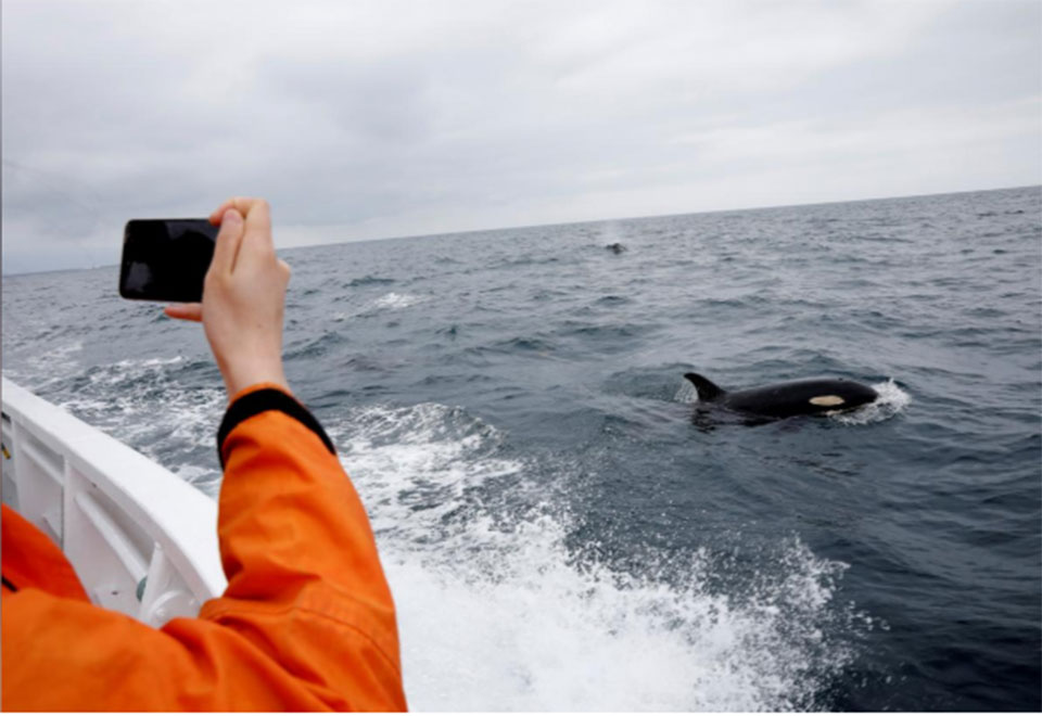 In Japan, the business of watching whales is far larger than hunting them