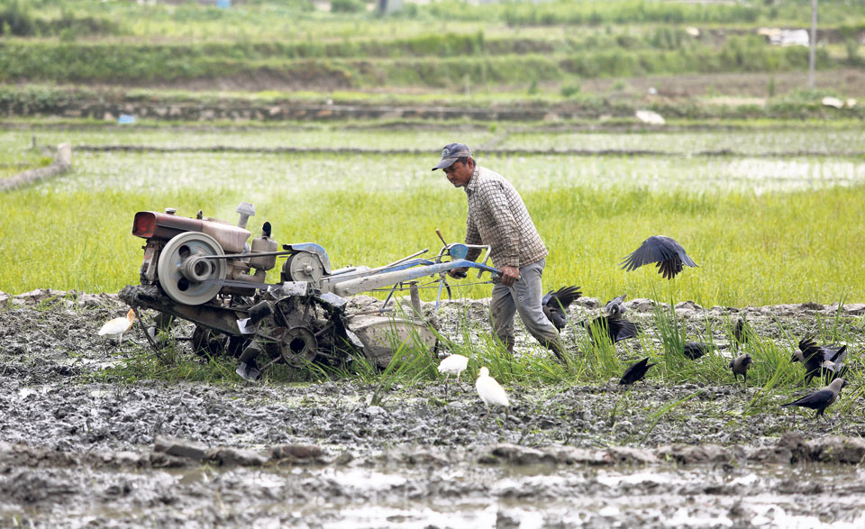 Paddy transplantation completed on 15% of fields so far