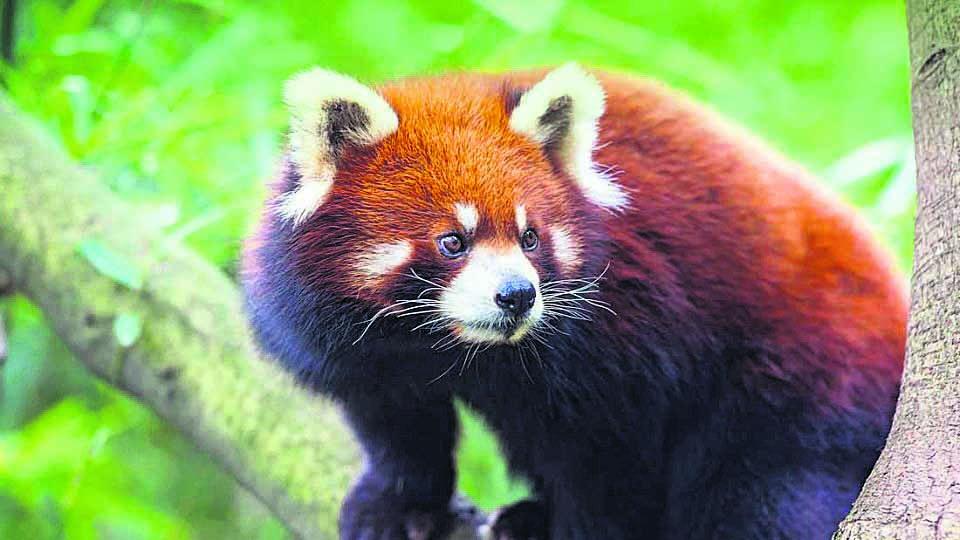 'Forest Guardian' for endangered red panda conservation