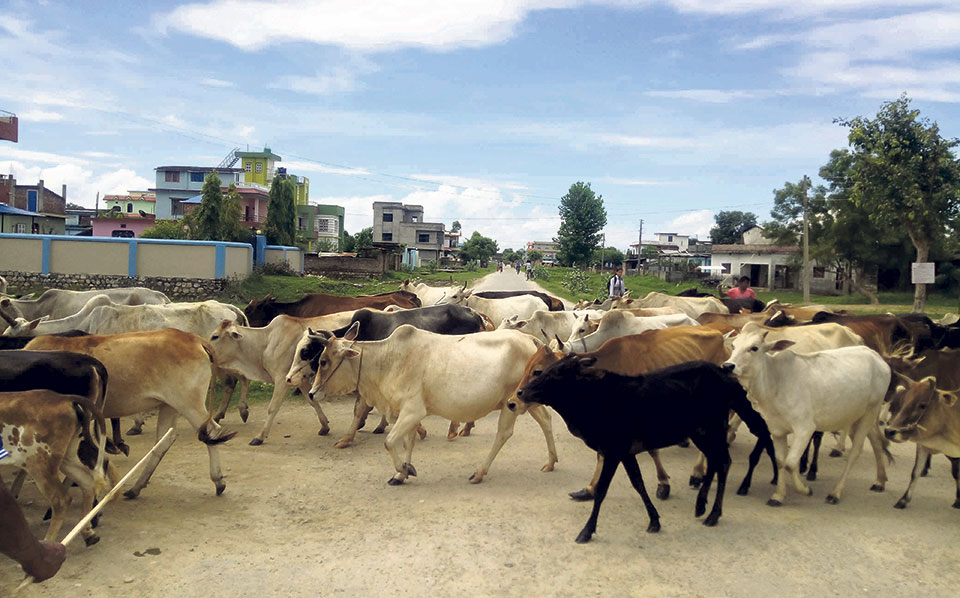 Stray cattle: Used, abandoned and despised