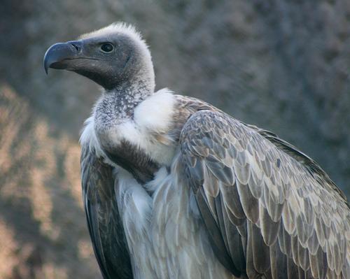 Endangered vultures at Balankhola river