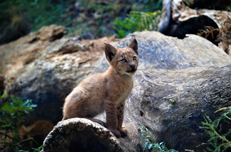 First Eurasian Lynx born in Pyrenees in almost a century