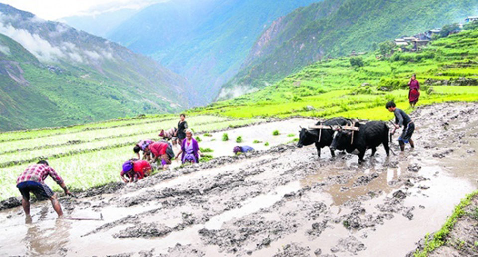 Paddy plantation completed by 30 per cent