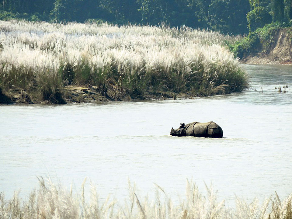 41 rhinos dead in nine months at Chitwan National Park