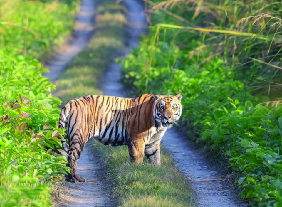 Tiger attraction draws higher score of tourists in Bardiya