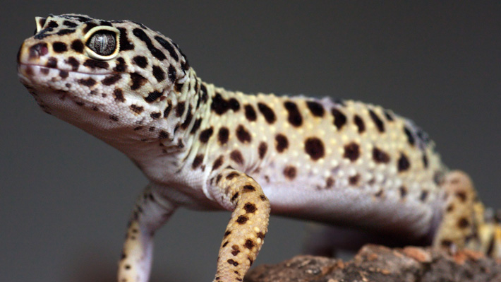 Common leopard gecko found in Nepal for the first time