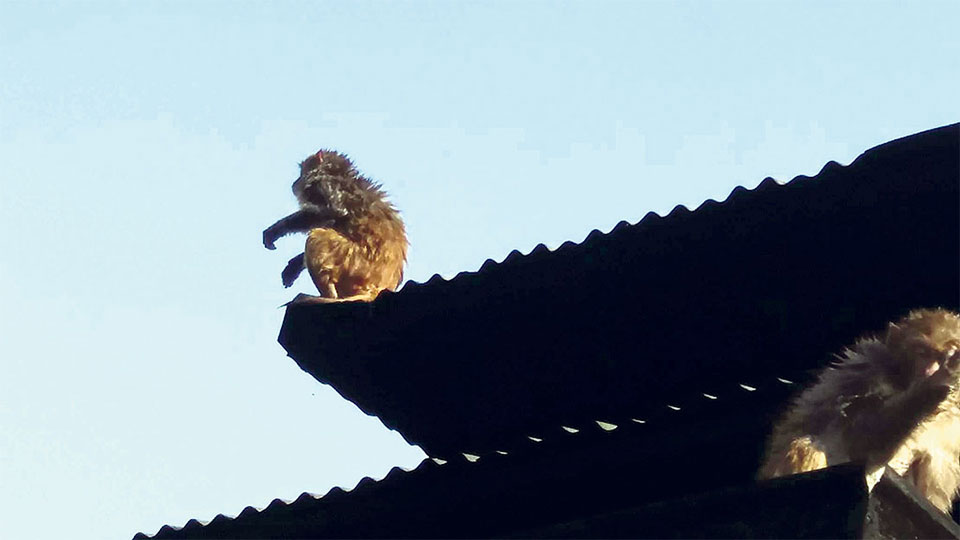 Monkey hazard forcing Syangja villagers to migrate