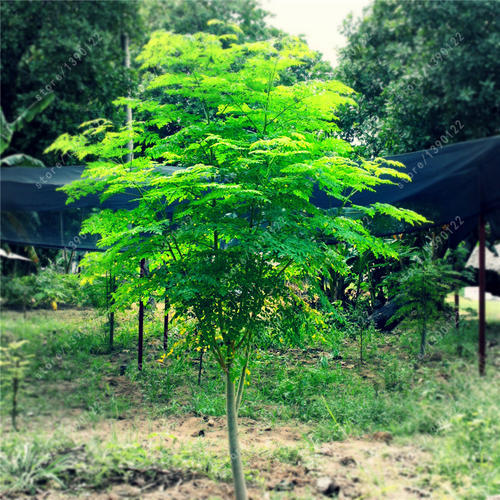 Miracle Tree or Tree of life