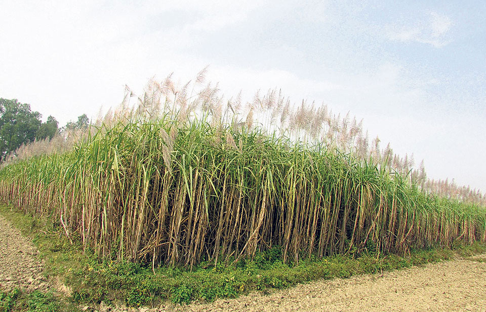 Sugarcane drying in fields, farmers worried