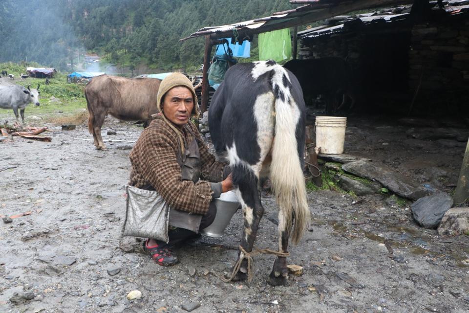 Yak farmers suffer as their livestock remain uninsured
