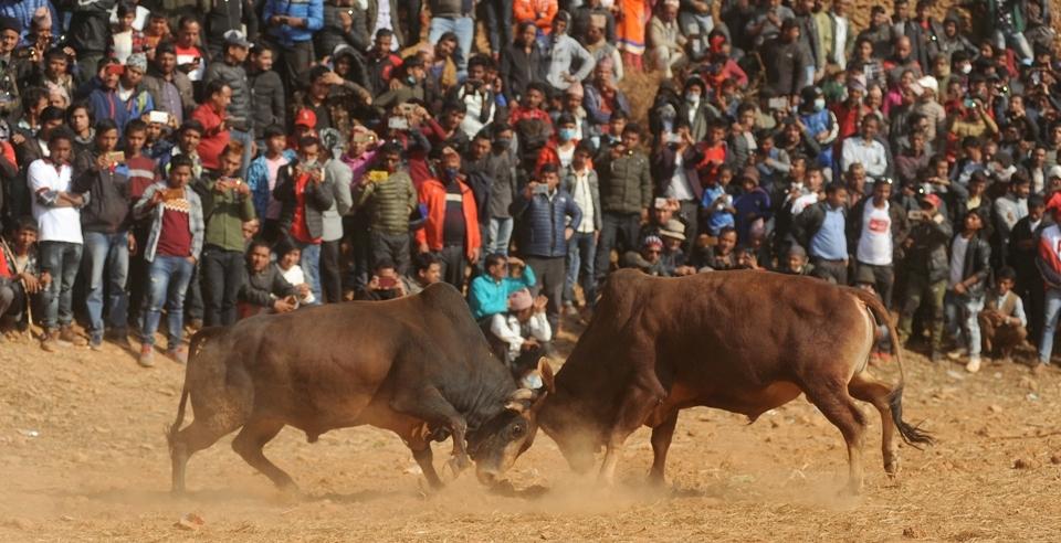 Ox fighting in Betrawati (with video)