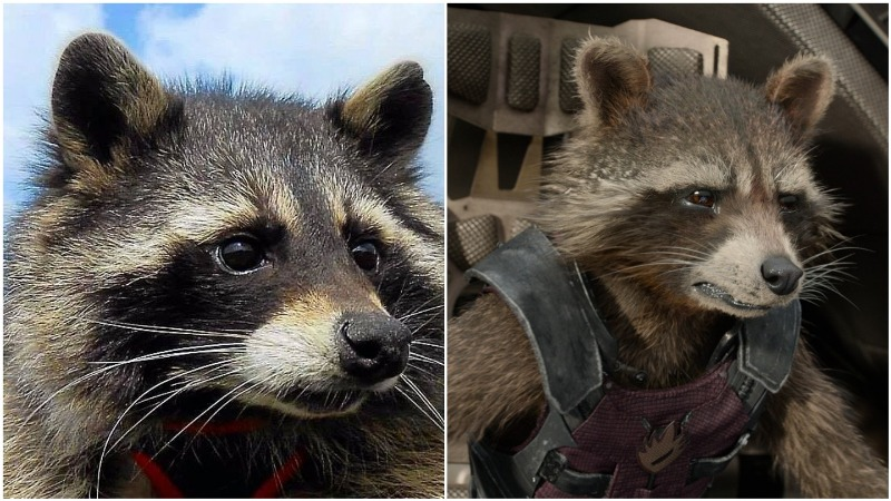 Real life Rocket Raccoon passes away