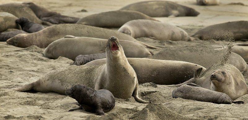 Elephant seals take over California beach during shutdown