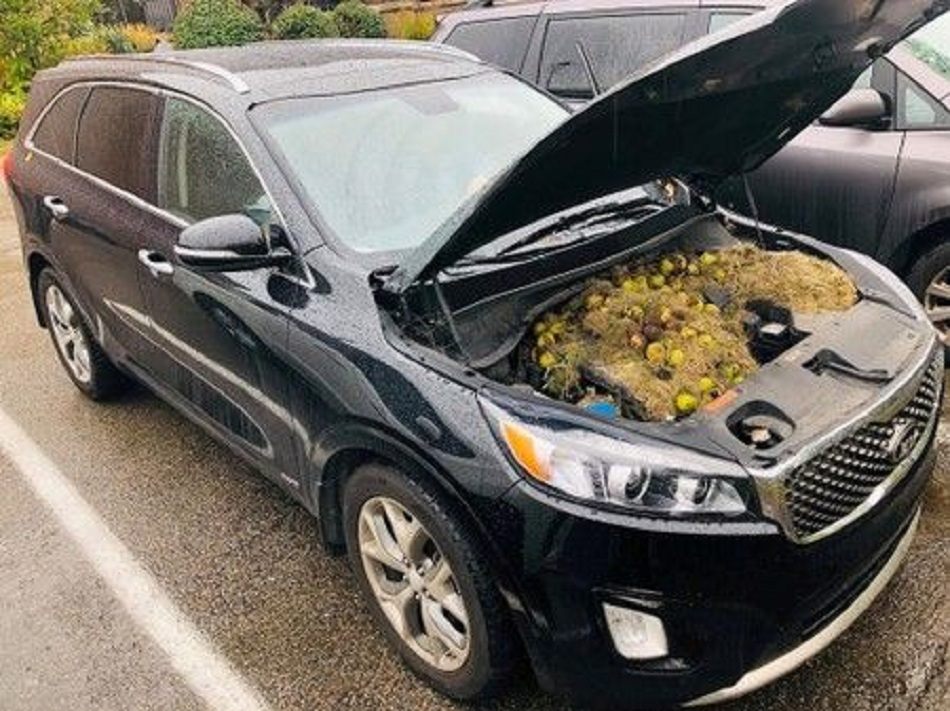 Squirrels' stash of winter walnuts causes car chaos