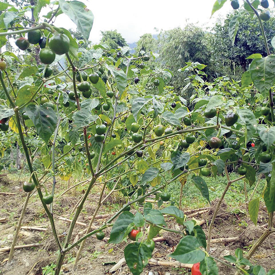 Solukhumbu farmers turn to Akbare chili farming