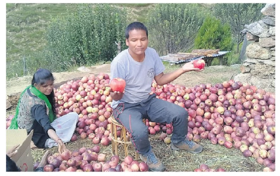 Ram Singh, guardian of Jumla apples