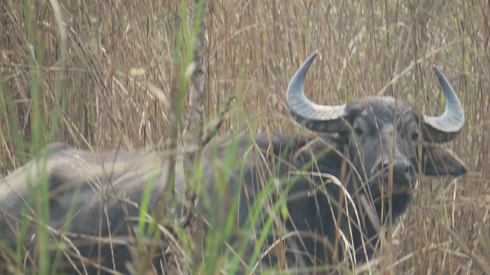 Last month's flood takes its toll on wild buffaloes of Chitwan National Park