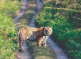 Tigers' population in Banke National Park  rises from 4 to 21 in five years