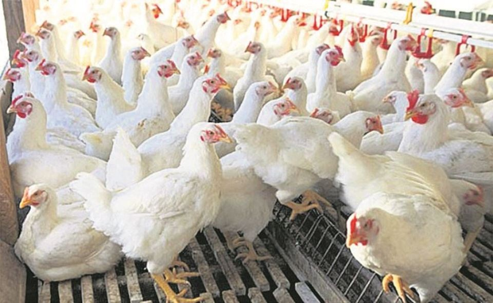 Chicken price skyrockets to Rs 460 per kg in the Valley