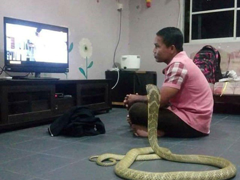 Thai man marries cobra he thinks is his dead girlfriend